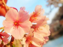 Cherry blossom -macro style by looking-for-hope