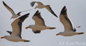 Pacific Gulls by 88-Lawstock
