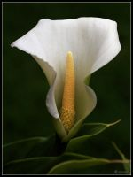 Arum Lily by cycoze
