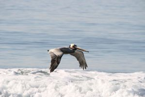 Brown Pelican Riding the Surf by Shadow848327