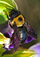 Carpenter Bee by FallOut99