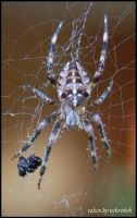 Hungry spider by somna-ARTifacts