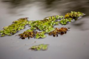Salvinia by CHabio