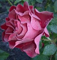 Rose cultivar Barbara by m-gosia