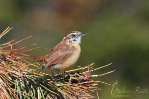 Pine Wren by mydigitalmind