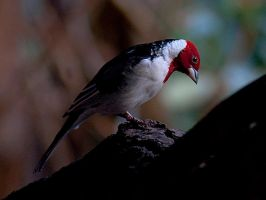 Red Headed Bird by InayatShah