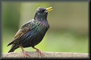 Colorful Starling by TThealer56