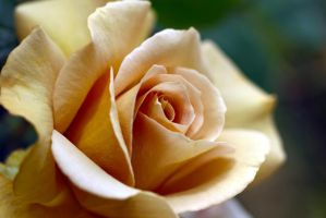 From My Favorite Rose Bush by Vividlight