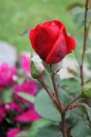 red rose by GLO-HE