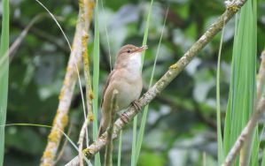Eurasian Reed Warbler by Oddity-1991