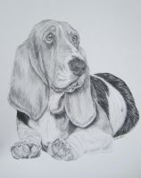 Basset Hound- Pencil by xx-ashley
