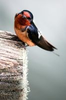 Barn Swallow 3 by CharlesWb