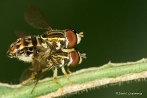Mating syrphids by dllavaneras