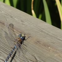Fly Fly Dragonfly by Noodels44