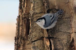 White Breasted Nuthatch by sgt-slaughter