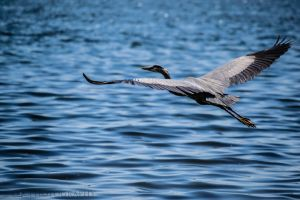 Behold...Beautiful heron by OlegKPhotography
