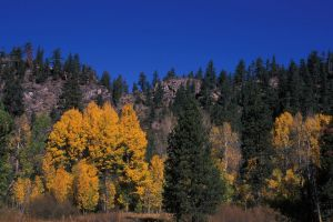 Golden Aspens and Blue Sky by shagie