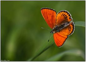 Lesser Fiery Copper by AimishBoy