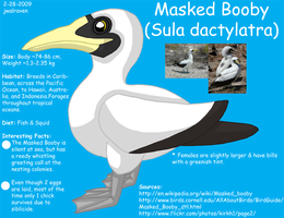 Masked Booby Reference by WildLifeWarriors
