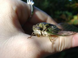 October Cicada V by Molliemon