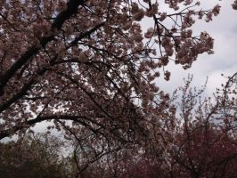 Brooklyn Botanic Garden - The Great Sakura Trees by Blueheart1331