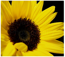 Sunflower Love by DayDreamsPhotography