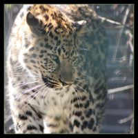 Leopard 4 by Globaludodesign