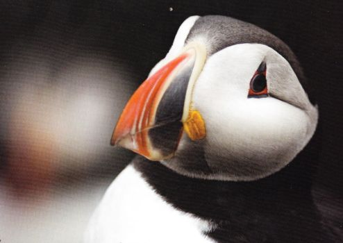 Emil the Puffin by bkreed