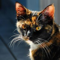 tortoiseshell beauty by Wilithin