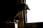 Barn Corvid by TammyPhotography