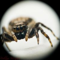 Wet Jumping Spider Portrait by ironmanbr
