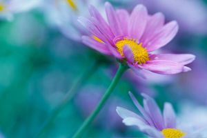Oxeye daisy by SarahharaS1