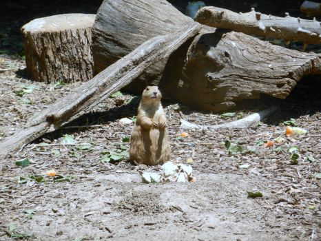 Prarie Dog by TheBigMC
