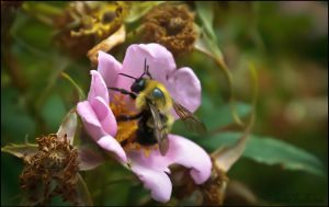 Bumble Bee by FallesenPhotography