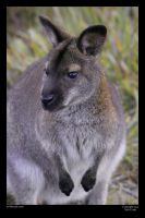 Wallaby by neilcreek