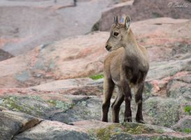 Young Alpine Ibex by Enalla