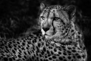 Cheetah BW by nigel3