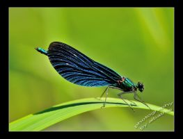 Dragonfly by albatros1
