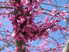 Redbud Cluster by hyperetic