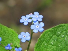Forget-Me-Not by Kitteh-Pawz