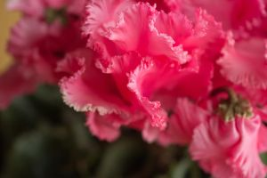 Cyclamen I by larksgar