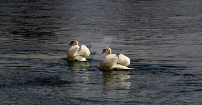 Swans by Ma-er