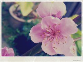 Peach Blossoms. by sweetsongbird