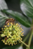 Bee in Ivy by organicvision
