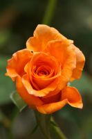 Orange  rose by a6-k