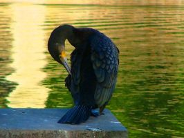Great Cormorant by Faunamelitensis