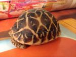 Melon the Indian Star Tortoise by elementw