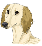 Saluki by mexicanine