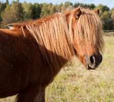 Miniature Shetland Pony by wiklander95