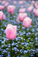 Pink Tulips by enunez